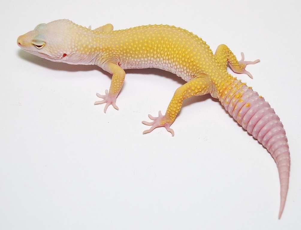 Эублефар Patternless Albino