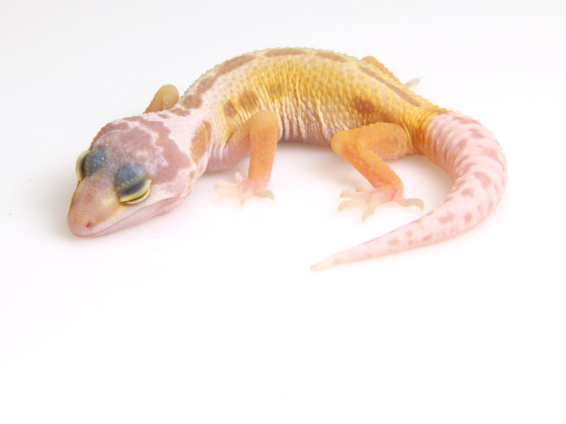Ювинильный окрас Patternless Albino